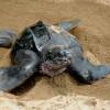 Watching Out For Trinidad & Tobago's Leatherback Turtles