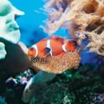 Clownfish & sea anemone in Buccoo Reef. Photographer: Cafe.Moka