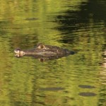 A caiman lurks in the water. Photographer: John Gioanetti