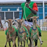 Goat racing in Buccoo, Tobago on Easter weekend. Photo: Edison Boodoosingh