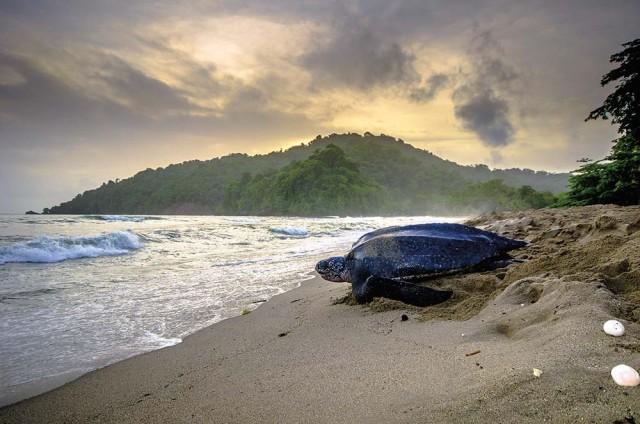 A leatherback makes its way to the sea at Grande Riviere. Photo: Stephen Jay Photography