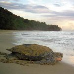 A leatherback turtle returns to the ocean at. Photographer: CafeMoka