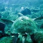 Sea turtle off Speyside. Photographer: Colin S. Davis