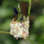 Nesting hummingbird in Main Ridge Forest Reserve. Photographer: Caroline Taylor
