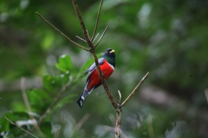 A collared trogon. Photographer: Stephen Broadbridge