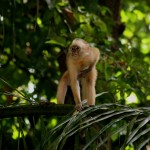 A capuchin monkey stays alert in the Bush Bush Sanctuary near Nariva. Photographer: Stephen Broadbridge