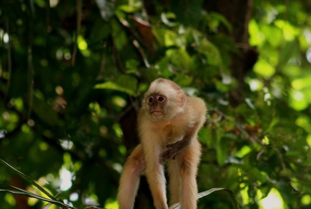 A capuchin monkey stays alert in the Bush Bush Sanctuary near Nariva. Photographer: Stephen Broadbridge