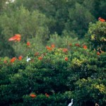 Scarlet Ibis coming home to roost in the Caroni Swamp. Photographer: Stephen Broadbridge