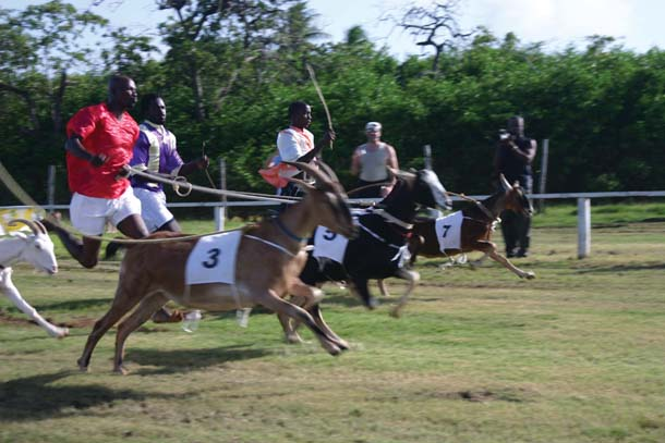On the run at the Buccoo Goat Racing Festival. Photographer: Richard Rawlins