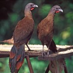 Cocoricos (or chacalacas), the national bird of Tobago. Photographer: CafeMoka