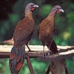 Cocoricos (or chacalacas), the national bird of Tobago. Photographer: CafeMoka