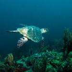 Hawksbill turtle at the Mt Irvine Wall. Photographer: Jonathan Gomez