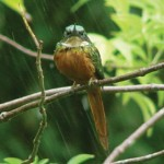 "A jacamar observes. Photographer: Carl ""Wang"" Fitzjames"