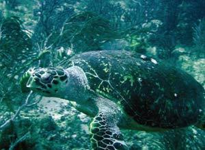 Sea turtle at Japanese Gardens off Speyside. Photographer: Colin S. Davis