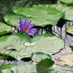 Water lillies of the Pointe-à-Pierre Wild Fowl Trust. Photographer: CafeMoka