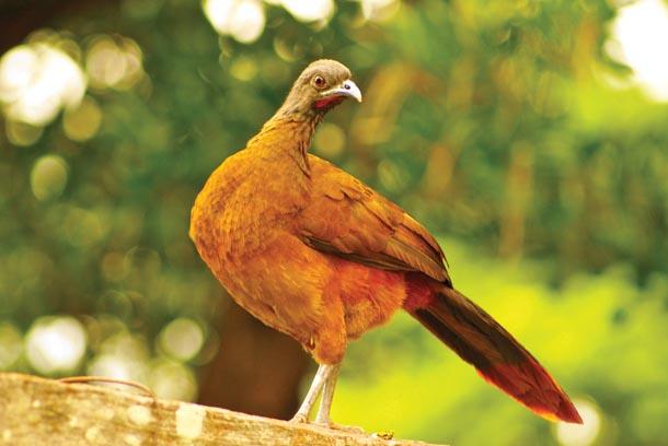A cocorico, the national bird of Tobago, at Grafton Bird Sanctuary. Photographer: Giancarlo Lalsingh