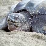 Nesting leatherback turtle. Photographer: Cafe.Moka