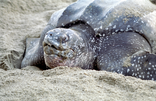 Nesting leatherback turtle. Photographer: Cafe.Moka