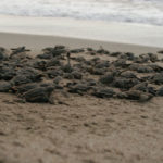Turtle hatchlings head for the ocean. Photographer: Jason Hagley