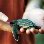 A baby leatherback turtle. Photographer: CafeMoka