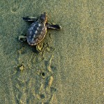 A newly hatched hawksbill turtle pauses as it makes its way to the sea at Mt Irvine Back Bay. Photographer: Giancarlo Lalsingh/SOS Tobago