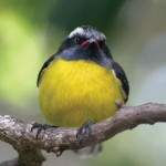 A bananaquit, or sucrier – so called because it loves to feed on sucrier figs. Photographer: Skene Howie