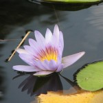 A lily at the Botanical Gardens in Scarborough. Photographer: Caroline Taylor
