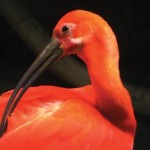The scarlet ibis, the national bird of Trinidad. Photographer: Giancarlo Lalsingh