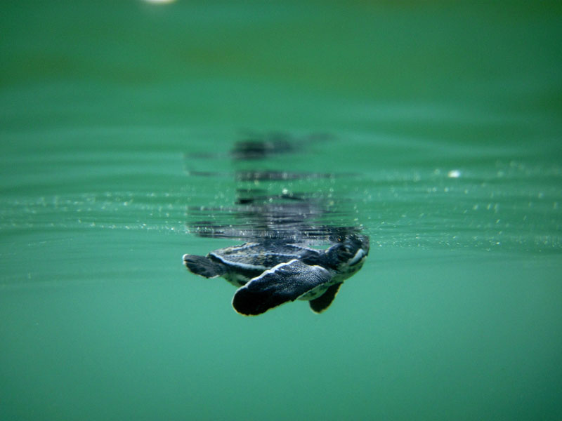 A critically endangered leatherback turtle hatchling takes a breath as it swims out to to sea at Mt Irvine/Back Bay. Photographer: Giancarlo Lalsingh/SOS Tobago