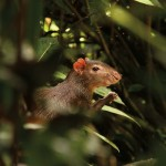 Red rumped agouti (Trinidad & Tobago). Photo: Faraaz Abdool