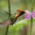 A tufted coquette (Trinidad & Tobago). Photo: Faraaz Abdool