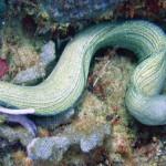 Eel in the coral at Pirates Bay, Tobago. Photo: Colin Davis