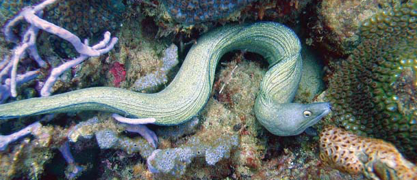 Eel in the coral at Pirates Bay, Tobago. Photo: Colin Davis
