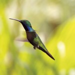 Hummingbird. Photo: Neal Young