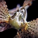 Lionfish. Photo: Raymond Bosma.