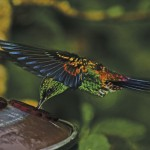 A hummingbird feeds. Photo: Giancarlo Lalsingh