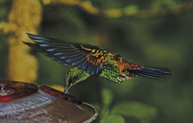 A hummingbird feeds. Photo: Giancarlo Lalsingh