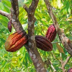 Cocoa Pods. Photograph by Anu Lakhan
