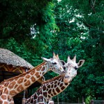 Giraffes at the Emperor Valley Zoo. Copyright MEP Publishers