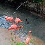 Flamingoes at the Emperor Valley Zoo. Photograph by MEP Publishers