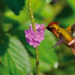 Tufted Coquette Hummingbird. Courtesy Theo Ferguson of Yerette