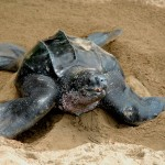 Leatherback Turtle Tobago
