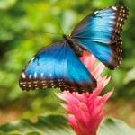 The Blue Emperor Butterfly. Photo: Tzooka/Shutterstock.com
