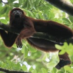 Red howler monkey. Photo by Stephen Broadbridge