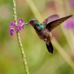 A young hummingbird feeding. Photo by Chris Anderson