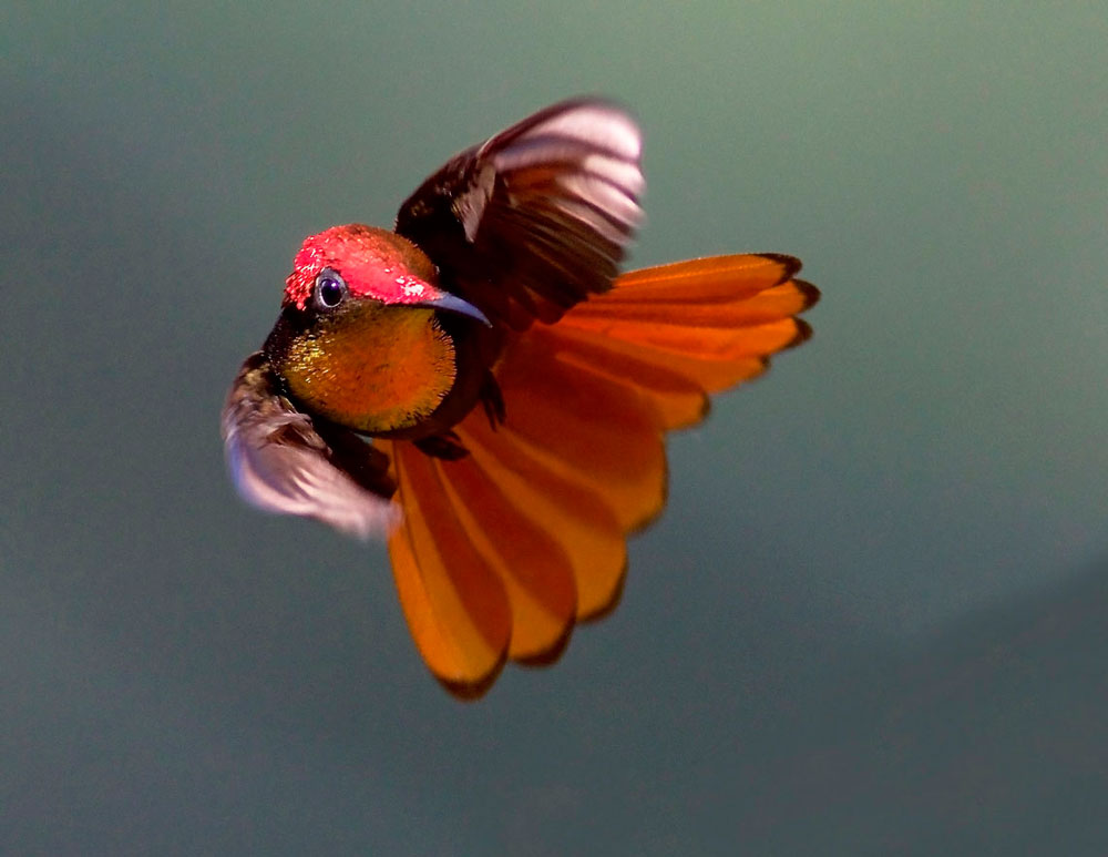 Ruby-topaz hummingbird. Photo courtesy Theo Ferguson, Yerette