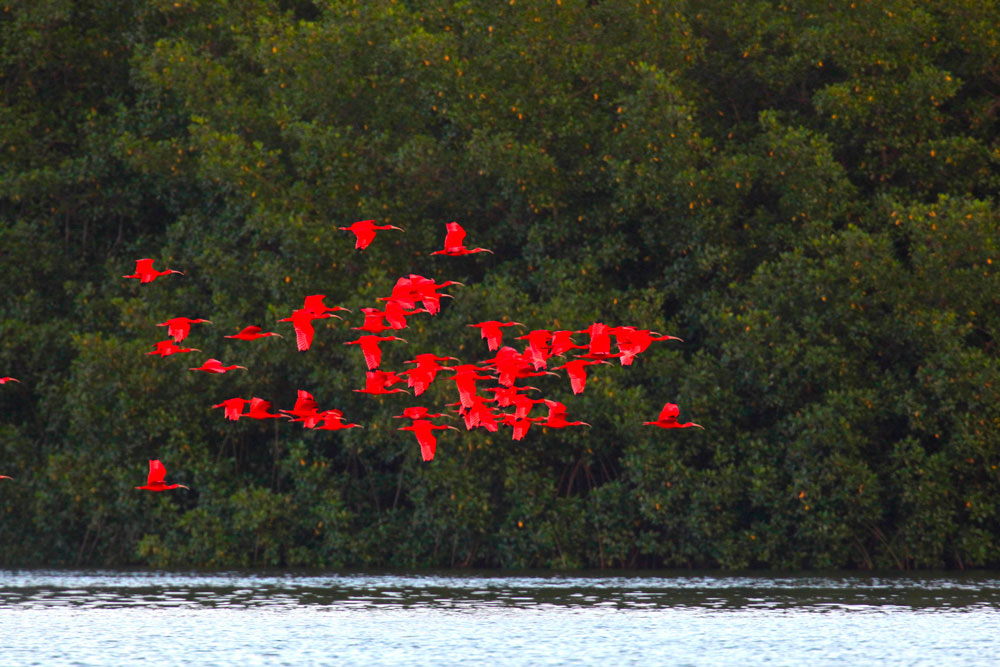 A flock of scarlet ibis fly home to roost in the Caroni Swamp. Photo by Stephen Broadbridge