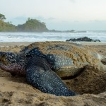 Giant leatherback turtle nesting. Photo by Kevin Sammy