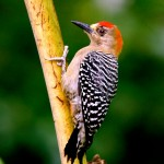 Red-crowned woodpecker. Photo by Stephen Broadbridge