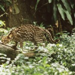An ocelot, widely distributed in Trinidad's deep forests. Photo by Stephen Broadbridge